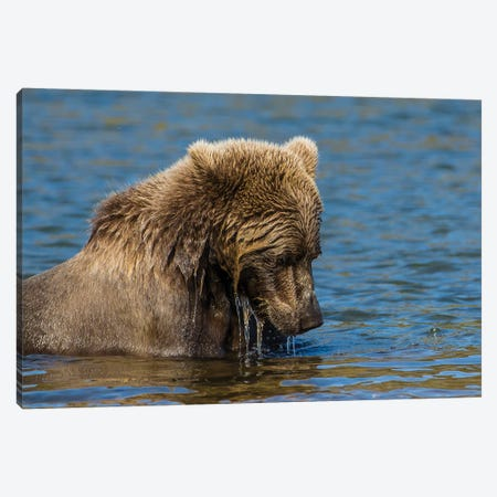 Grizzly or brown bear (Ursus arctos), Moraine Creek (River), Katmai NP and Reserve, Alaska Canvas Print #MDE17} by Michael DeFreitas Canvas Wall Art