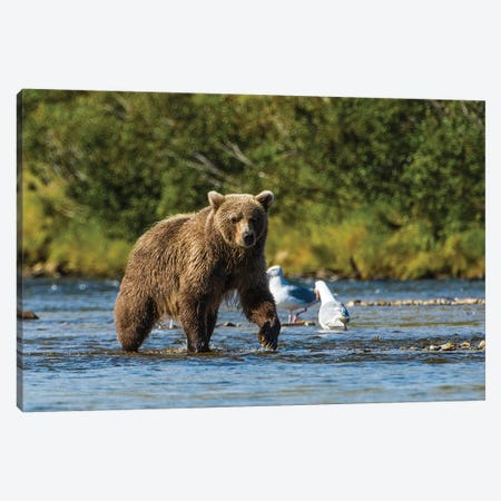 Grizzly or brown bear (Ursus arctos), Moraine Creek (River), Katmai NP and Reserve, Alaska Canvas Print #MDE18} by Michael DeFreitas Art Print