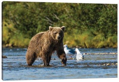 Grizzly or brown bear (Ursus arctos), Moraine Creek (River), Katmai NP and Reserve, Alaska Canvas Art Print