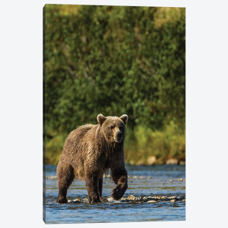 Grizzly or brown bear (Ursus arctos), Moraine Creek (River), Katmai NP and Reserve, Alaska Canvas Print #MDE19} by Michael DeFreitas Art Print