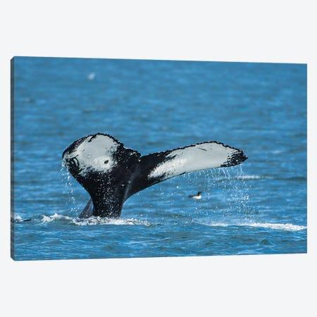 Humpback whale (Megaptera novaeangliae), Resurrection Bay, Kenai Fjords National Park, Alaska, USA. Canvas Print #MDE21} by Michael DeFreitas Canvas Artwork
