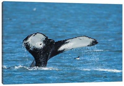 Humpback whale (Megaptera novaeangliae), Resurrection Bay, Kenai Fjords National Park, Alaska, USA. Canvas Art Print