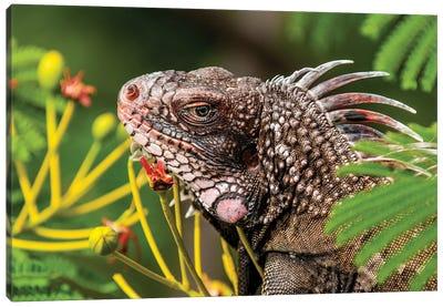 Green Iguana (Iguana Iguana), St. Thomas, Us Virgin Islands. Canvas Art Print