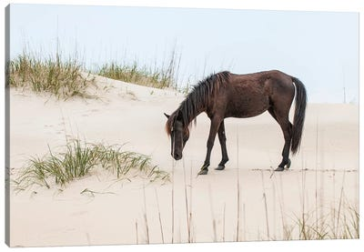 Lone Banker Horse On The Beach, Currituck National Wildlife Refuge, Outer Banks, North Carolina, USA Canvas Art Print