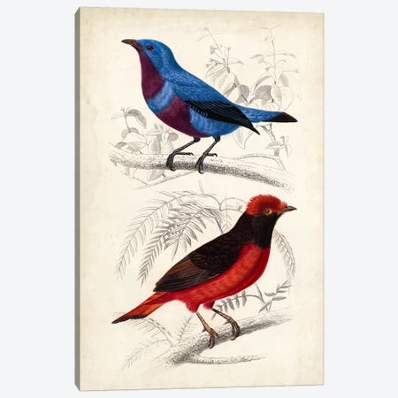 D'Orbigny Birds II Canvas Print #MDO2} by M. Charles D'Orbigny Art Print