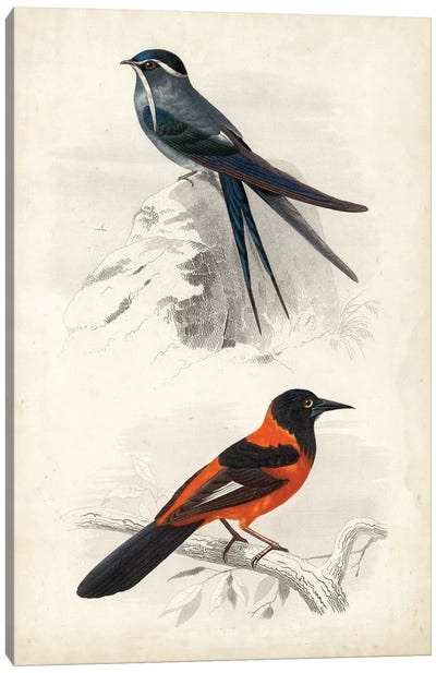 D'Orbigny Birds VII Canvas Art Print