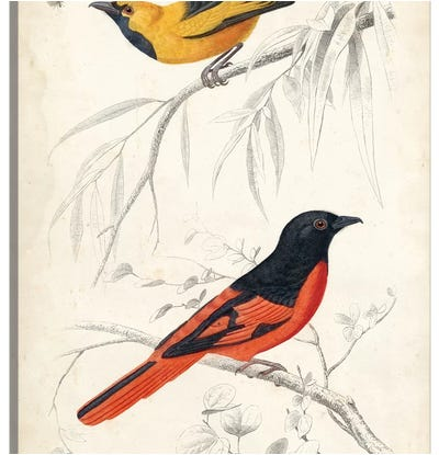 D'Orbigny Birds VIII Canvas Art Print