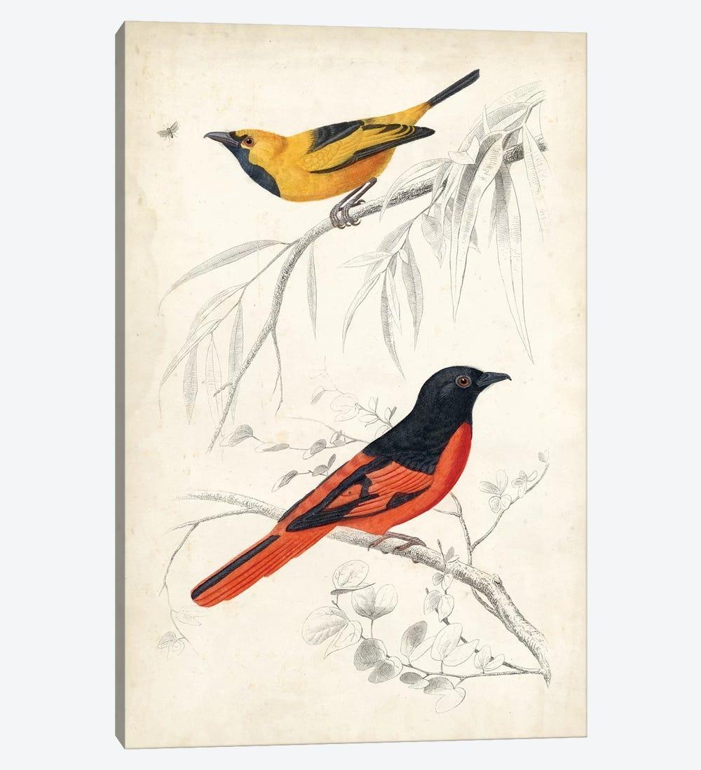 D'Orbigny Birds VIII by M. Charles D'Orbigny 1-piece Canvas Art