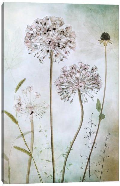 Allium II Canvas Art Print