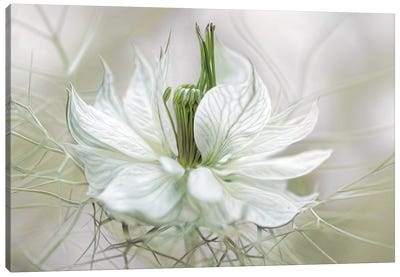 Nigella II Canvas Art Print