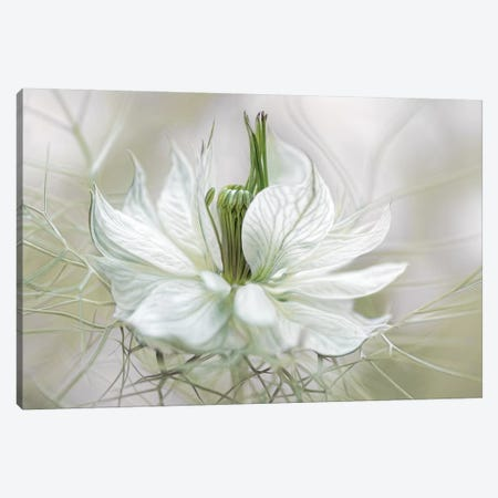 Nigella II Canvas Print #MDY18} by Mandy Disher Art Print