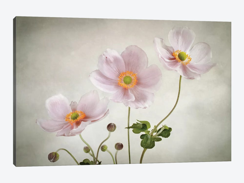Anemones by Mandy Disher 1-piece Canvas Art