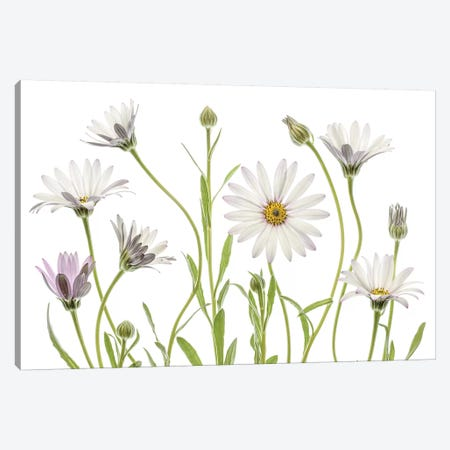 Cape Daisies 3-Piece Canvas #MDY25} by Mandy Disher Canvas Print