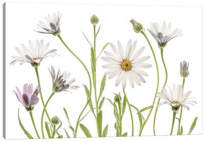 Cape Daisies Canvas Art Print