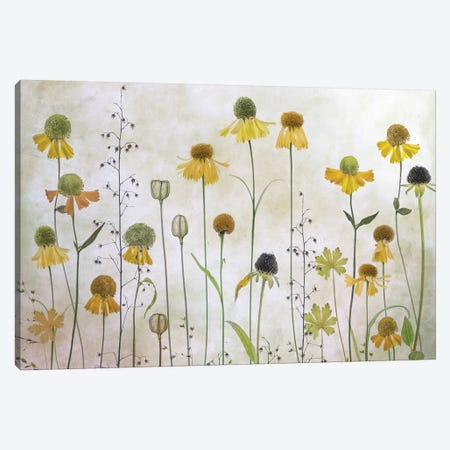 Helenium Canvas Print #MDY29} by Mandy Disher Canvas Artwork