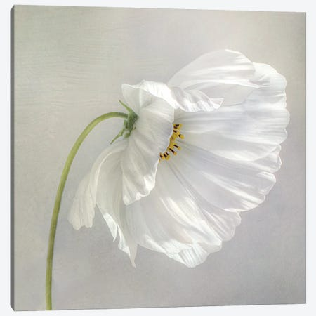 Daisy Detail I Canvas Print #MDY2} by Mandy Disher Canvas Artwork