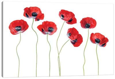 Ladybird Poppies Canvas Art Print