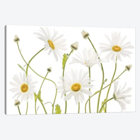 Ox Eye Daisies Canvas Print #MDY31} by Mandy Disher Art Print