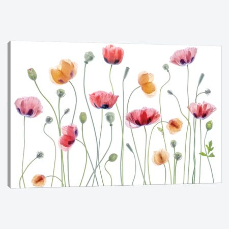 Papaver Party Canvas Print #MDY33} by Mandy Disher Art Print