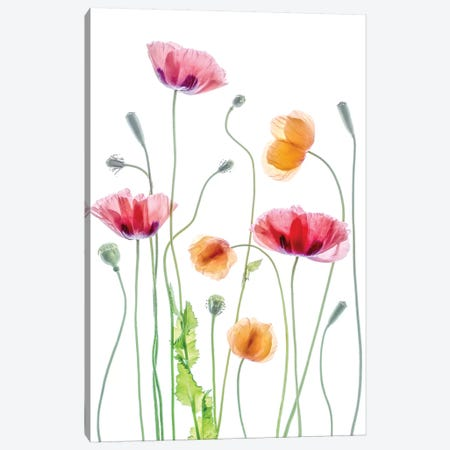 Poppies Canvas Print #MDY35} by Mandy Disher Canvas Art