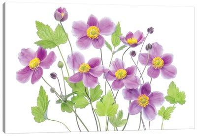 Anemone 'Hadspen Abundance' Canvas Art Print