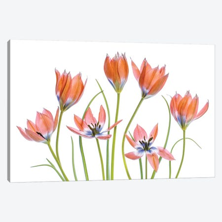 Apricot Tulips Canvas Print #MDY38} by Mandy Disher Art Print