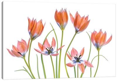 Apricot Tulips Canvas Art Print