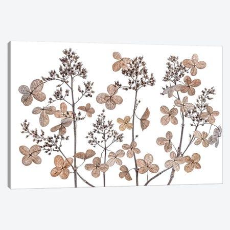 Hydrangea Paniculata Canvas Print #MDY41} by Mandy Disher Canvas Artwork