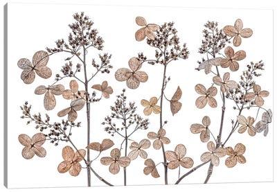 Hydrangea Paniculata Canvas Art Print