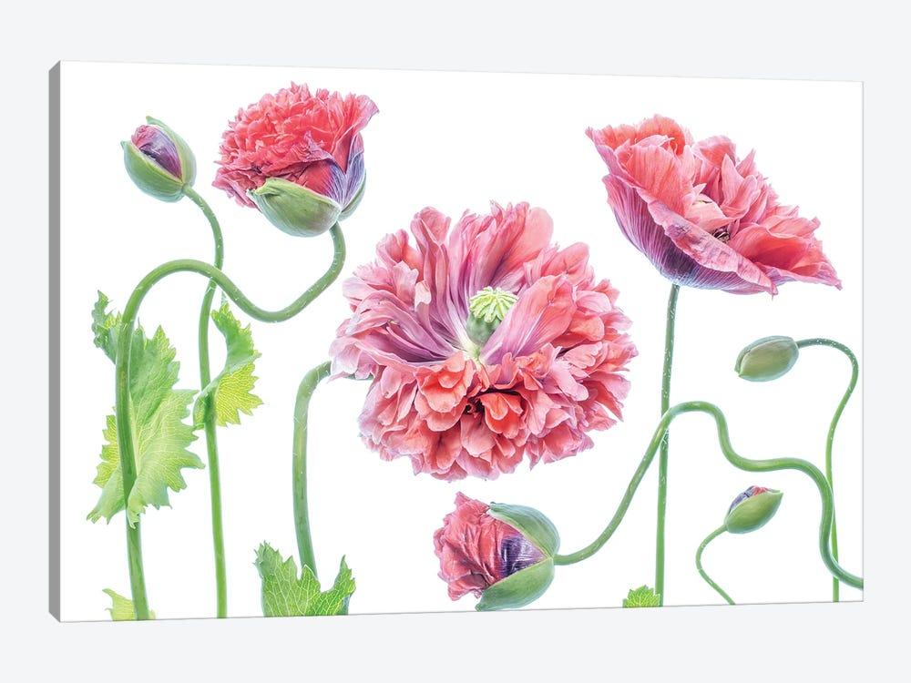 Fancy by Mandy Disher 1-piece Canvas Print