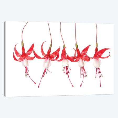 Fuchsia Canvas Print #MDY46} by Mandy Disher Canvas Art Print