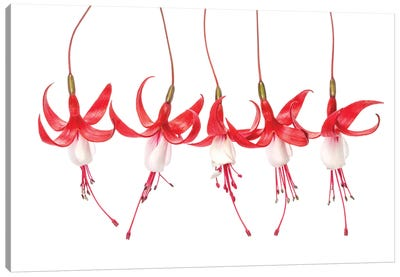 Fuchsia Canvas Art Print