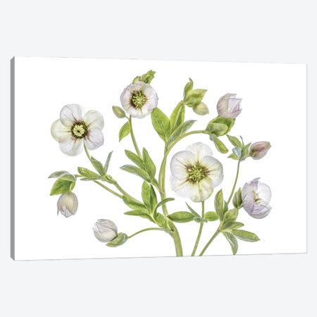 Hellebore Canvas Print #MDY47} by Mandy Disher Art Print