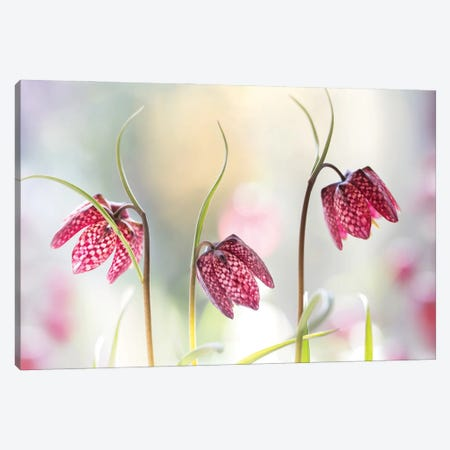 Snakes Head Fritillary Canvas Print #MDY48} by Mandy Disher Canvas Wall Art