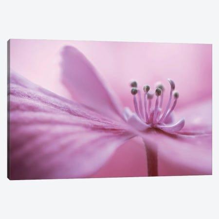 Hydrangea Canvas Print #MDY50} by Mandy Disher Canvas Print
