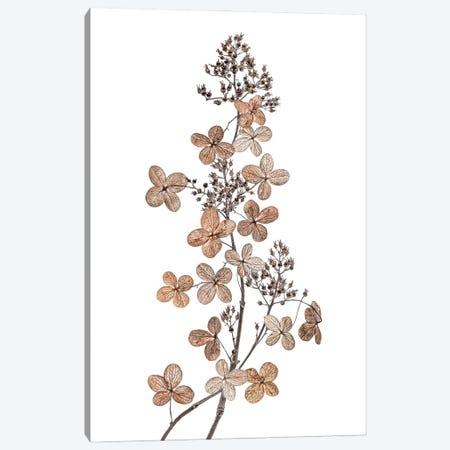 Hydrangea Paniculata Canvas Print #MDY51} by Mandy Disher Canvas Print