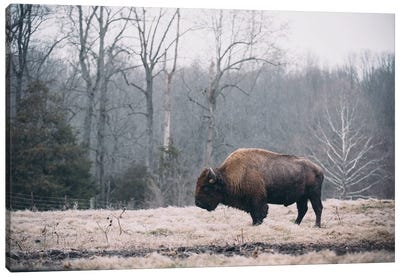 Solitary Bison I Canvas Art Print