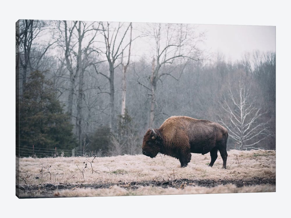 Solitary Bison I by Adam Mead 1-piece Art Print