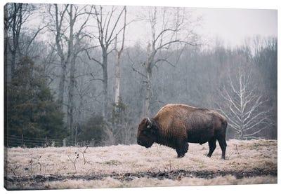 Solitary Bison I Canvas Art Print