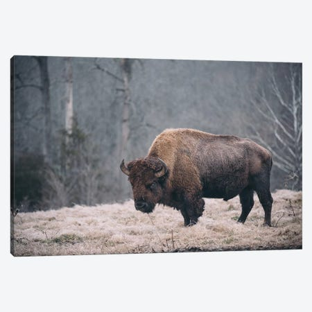Solitary Bison II Canvas Print #MED50} by Adam Mead Art Print