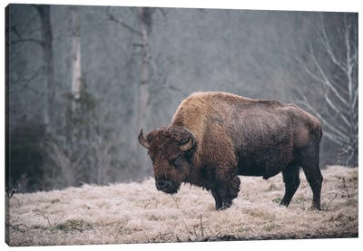 Solitary Bison II Canvas Art Print
