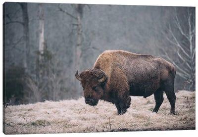 Solitary Bison II Canvas Art Print