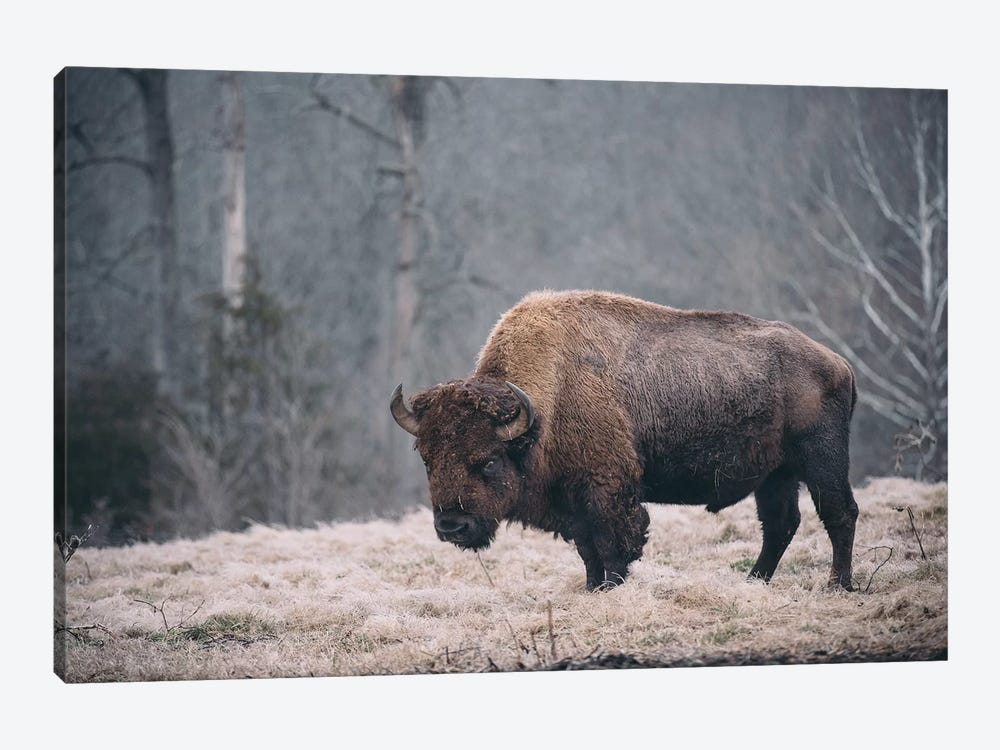 Solitary Bison II by Adam Mead 1-piece Canvas Art Print