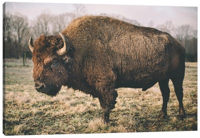 Solitary Bison IV Canvas Art Print