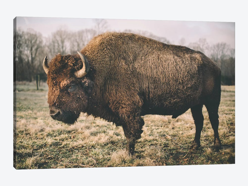 Solitary Bison IV by Adam Mead 1-piece Art Print