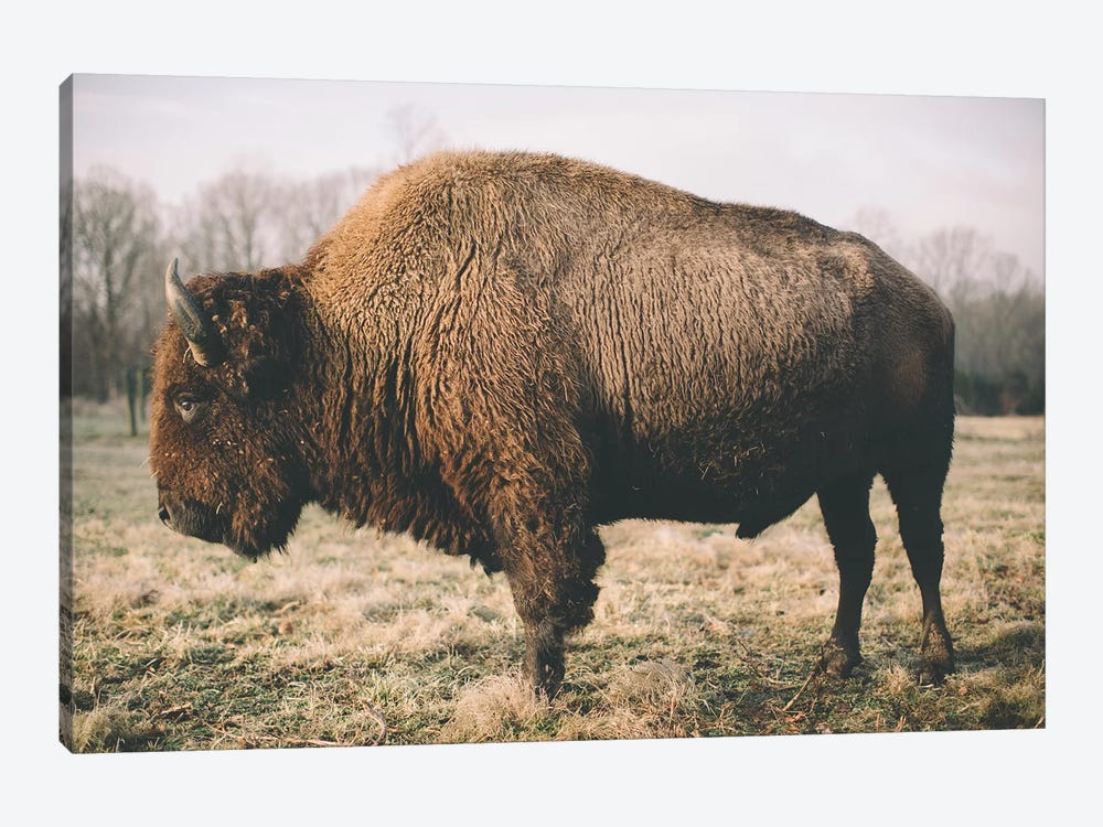 Solitary Bison V by Adam Mead 1-piece Canvas Artwork