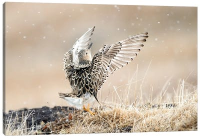 Buff-Breasted Sandpiper Displaying Canvas Art Print