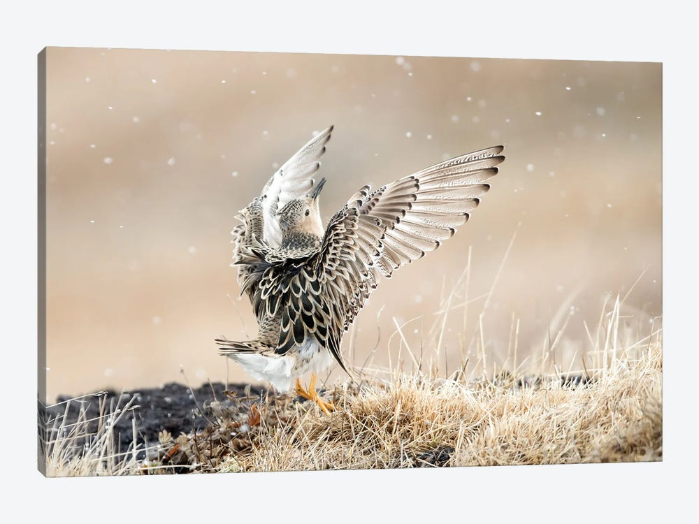 Buff-Breasted Sandpiper Displaying by Melissa Groo 1-piece Canvas Wall Art