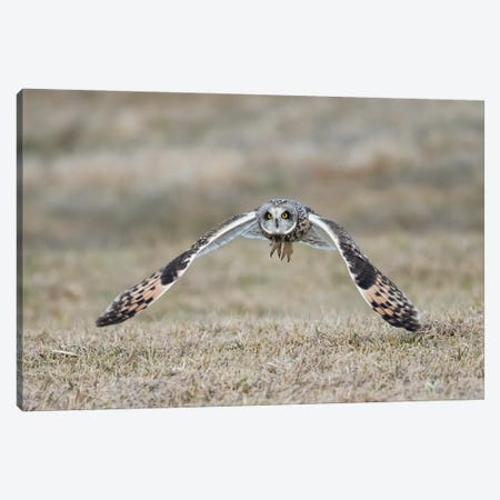 Short-Eared Owl Takes Flight Canvas Print #MEO12} by Melissa Groo Canvas Wall Art