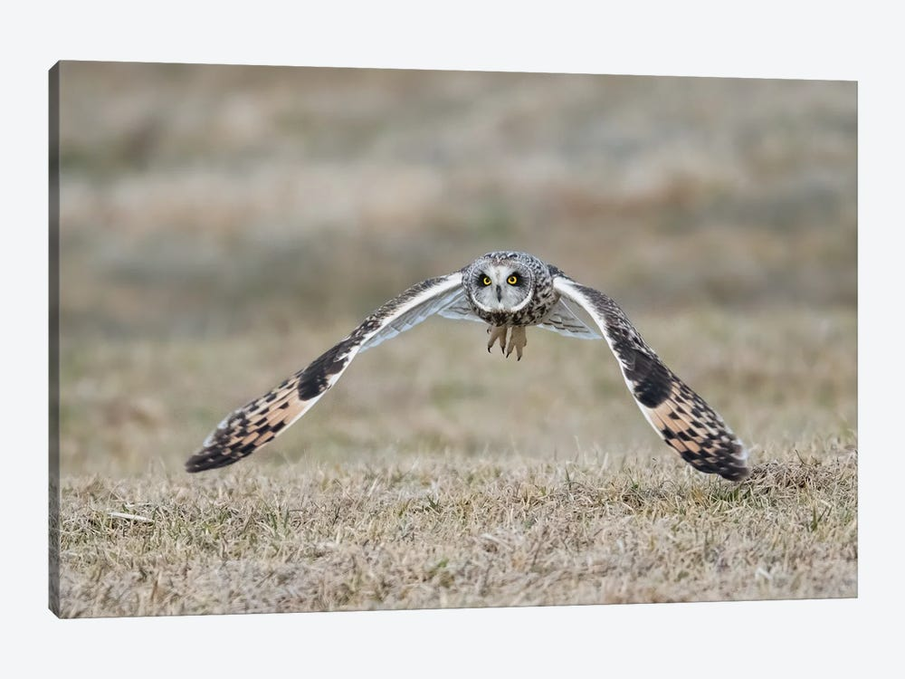 Short-Eared Owl Takes Flight by Melissa Groo 1-piece Canvas Artwork